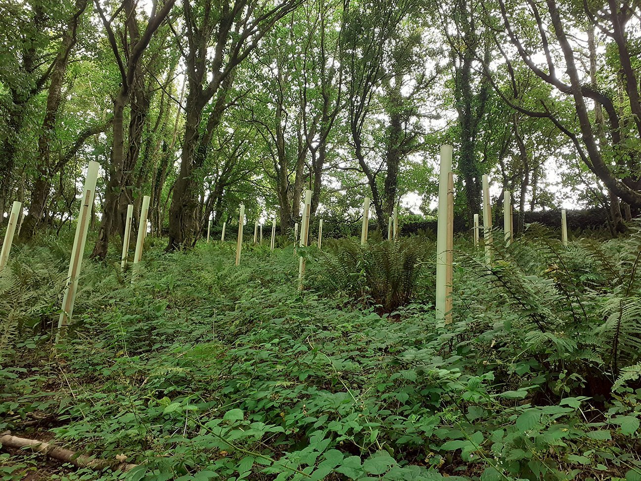 Maker Heights  -  Cornwall  -  Hornbeam Trees In Shelters To Protect Them From Deer