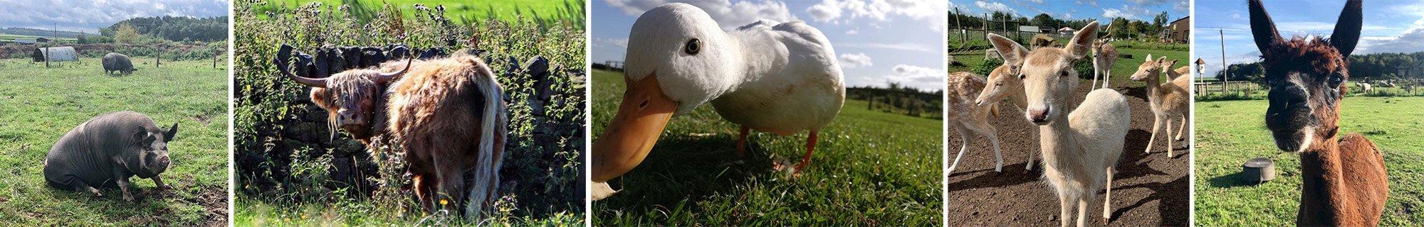 Matlock Farm Park  -  Derbyshire  -  Pigs Ducks Alpacas And More