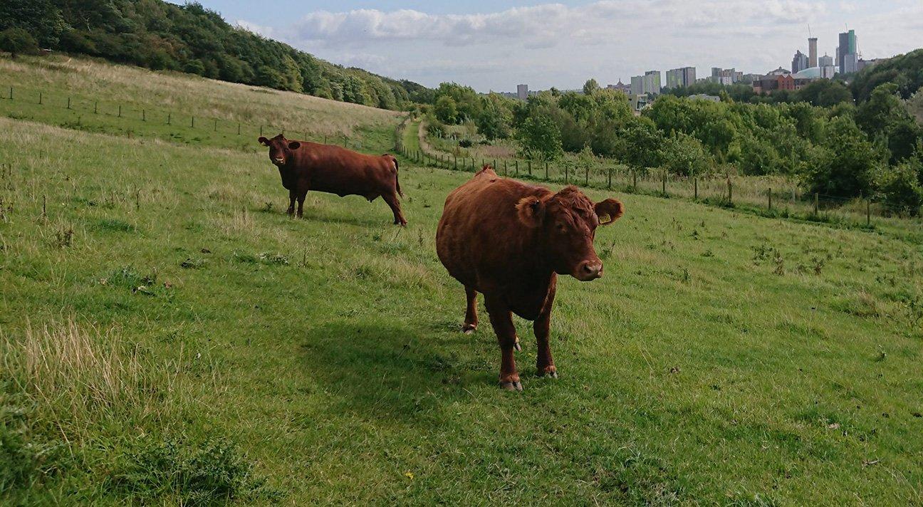 Meanwood Valley Urban Farm  -  Yorkshire  -  Bulls In The Field Overlooking Leeds