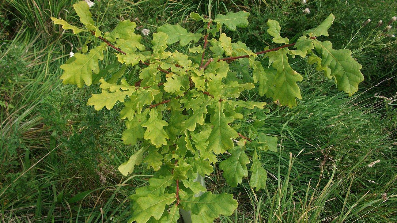 Meanwood Valley Urban Farm  -  Yorkshire  -  Oak Tree In Shelter