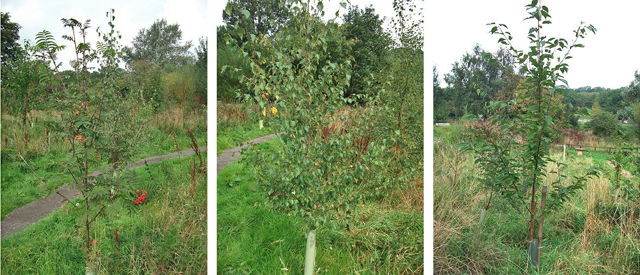 Meanwood Valley Urban Farm  -  Yorkshire  -  Rowan  -  Silver Birch  -  Wild Cherry Trees After A Few Years Of Growth
