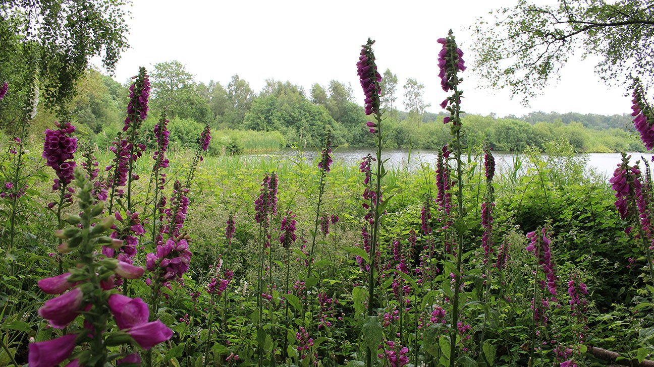 Mere Sands Wood  -  Lancashire  -  Foxgloves On The Edge Of The Mere