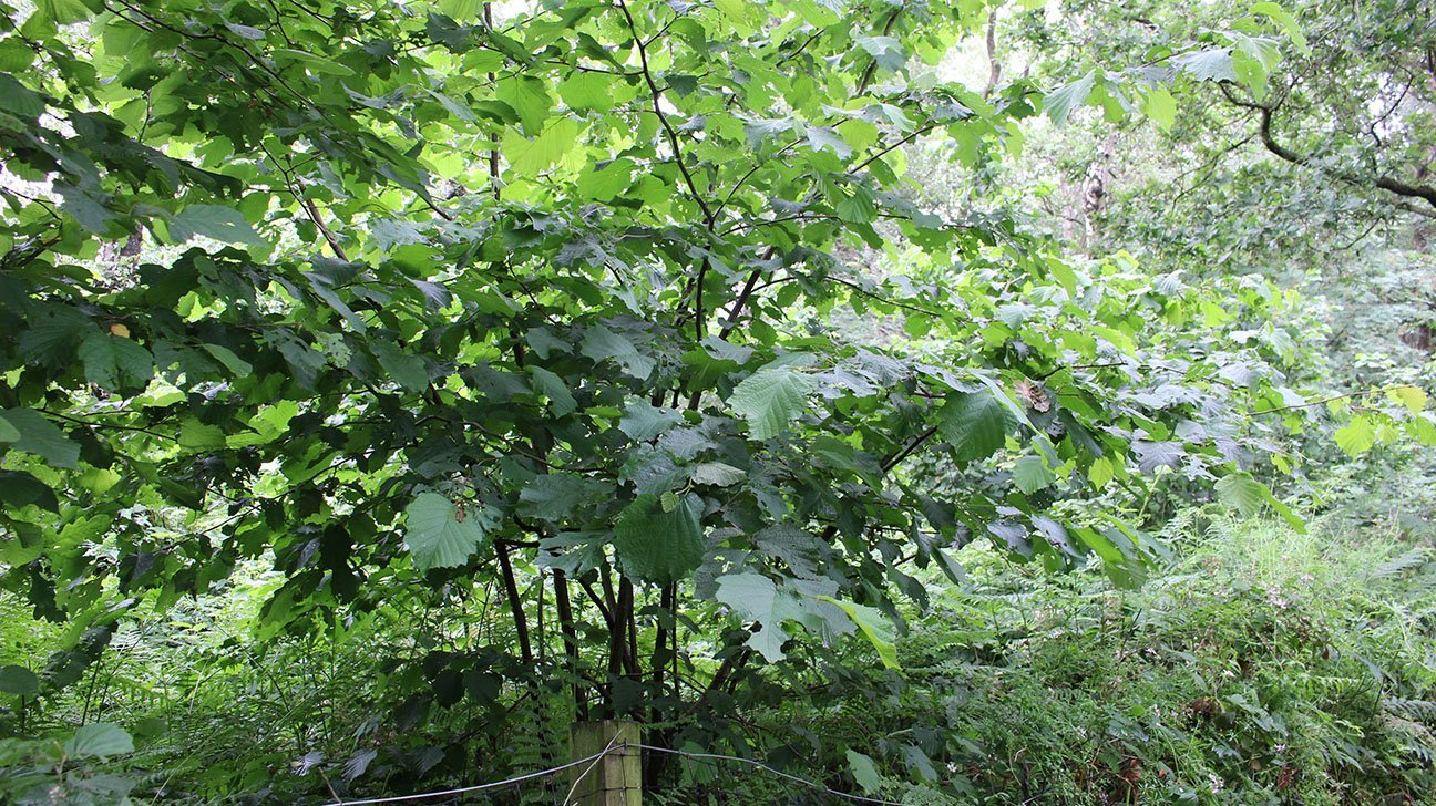 Mere Sands Wood  -  Lancashire  -  Hazel Trees Are Planted Throughout The Nature Reserve