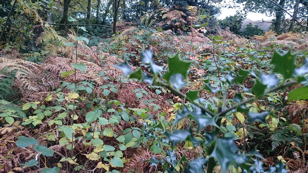 Mere Sands Wood  -  Lancashire  -  Holly And Other Trees In Bracken