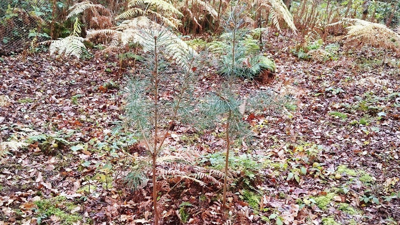 Mere Sands Wood  -  Lancashire  -  Scots Pine Saplings
