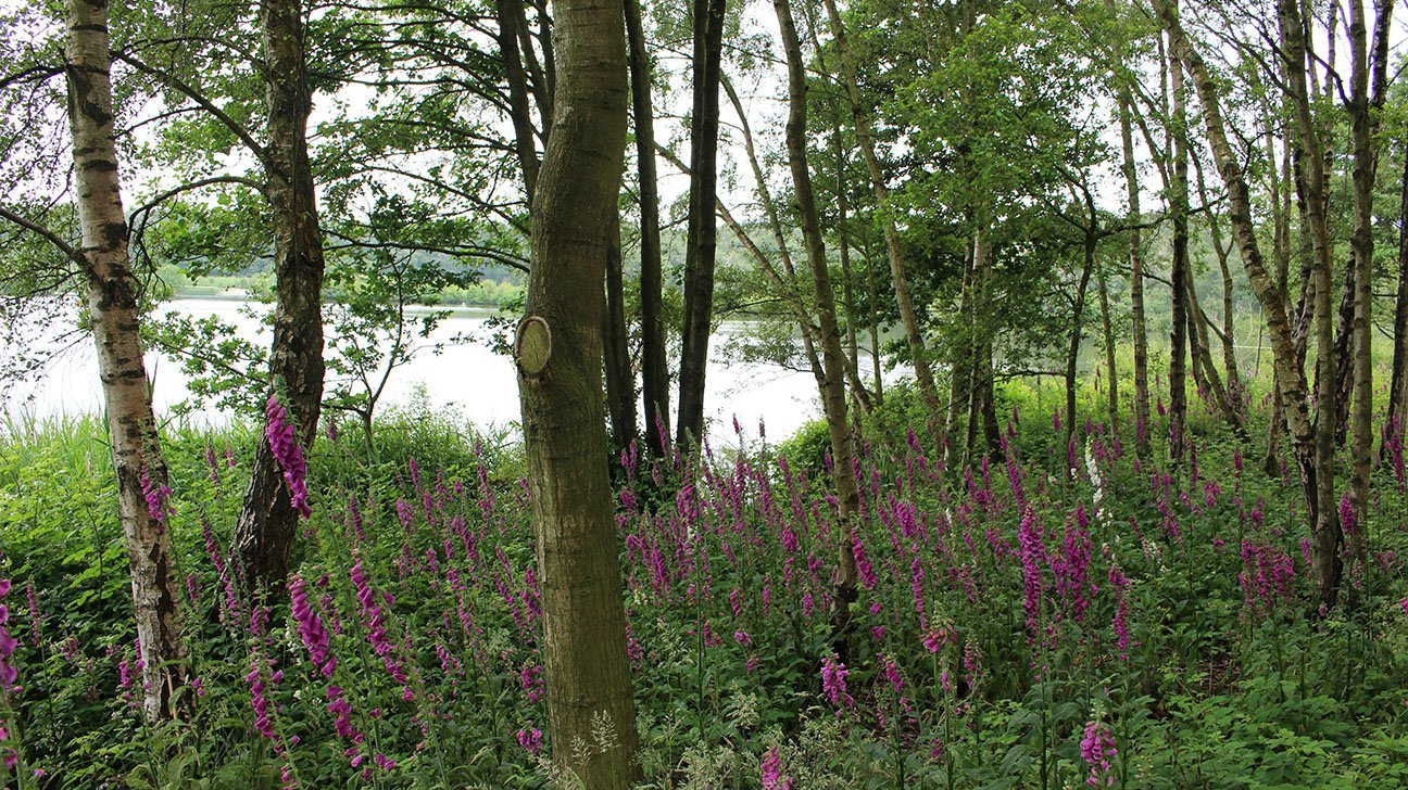 Mere Sands Wood  -  Lancashire  -  Woodland And Foxgloves On The Edge Of The Water
