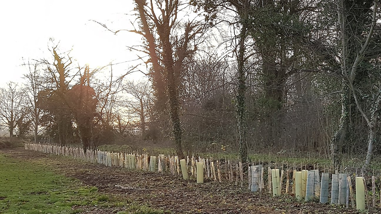 Nene Valley Park  -  Lincolnshire  -  Oaks And Hedgerow Planted In Shelters 2019