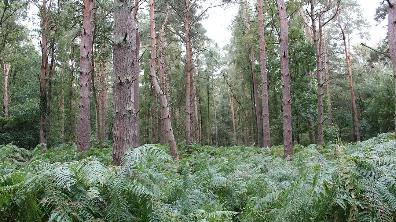 Oakley Wood  -  Warwickshire  -  Mature Scots Pine Trees And Bracken