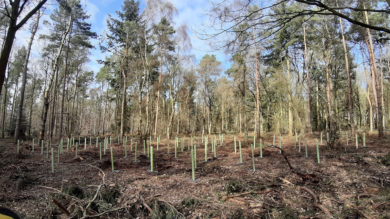 Oakley Wood  -  Warwickshire  -  New Trees Are Planted In Shelters In Areas Where Old Pine Trees Have Been Felled
