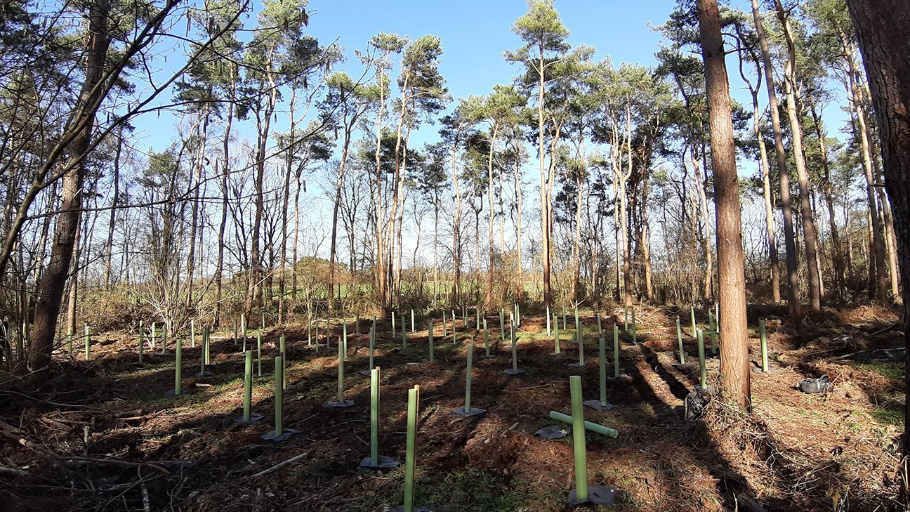 Oakley Wood  -  Warwickshire  -  Newly Planted Trees In Shelters Among Mature Scots Pine 2021