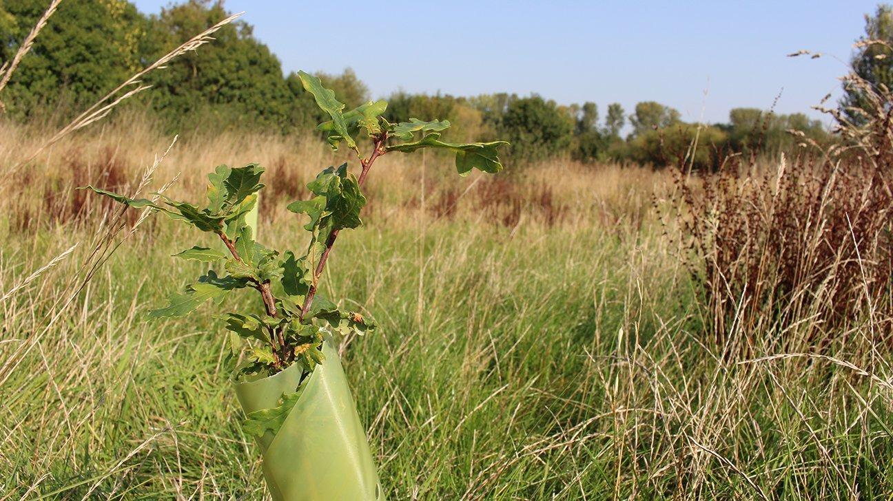 Redwings Fields  -  Shropshire  -  Oak Tree In Shelter