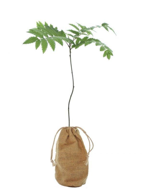 Rowan Tree Gift - Sorbus Aucuparia - Tree Gifts