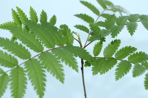 Rowan Tree Gift  -  Sorbus Aucuparia  -  Leaves  -  IMG1137  -  Tree Gifts