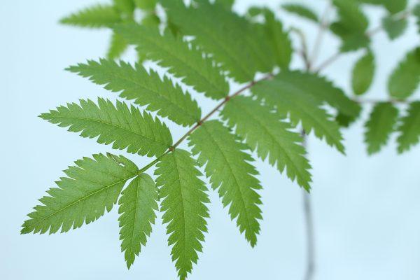 Rowan Tree Gift  -  Sorbus Aucuparia  -  Leaves  -  IMG1140  -  Tree Gifts