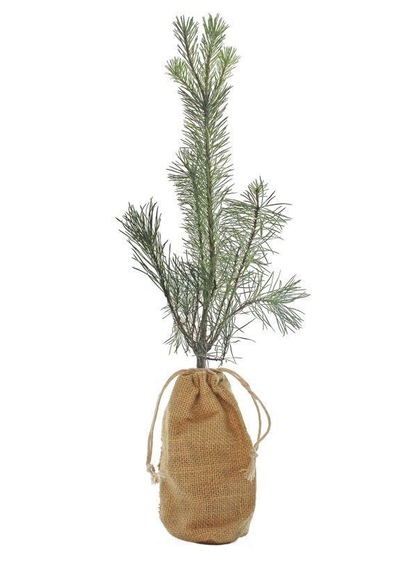 Scots Pine Tree Gift - Pinus Sylvestris - Tree Gifts