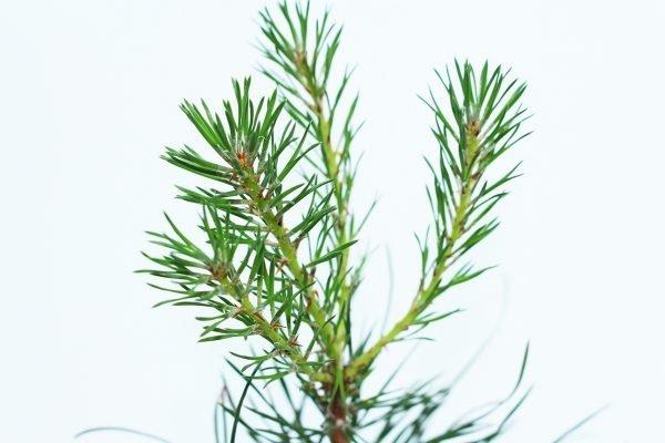 Scots Pine Tree Gift  -  Pinus Sylvestris  -  Leaves  -  IMG1107  -  Tree Gifts