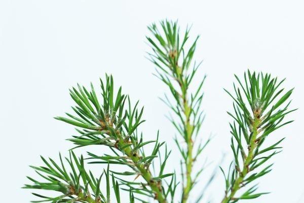Scots Pine Tree Gift  -  Pinus Sylvestris  -  Leaves  -  IMG1111  -  Tree Gifts