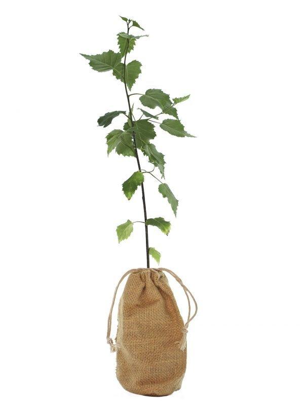 Silver Birch Tree Gift - Betula Pendula - Tree Gifts