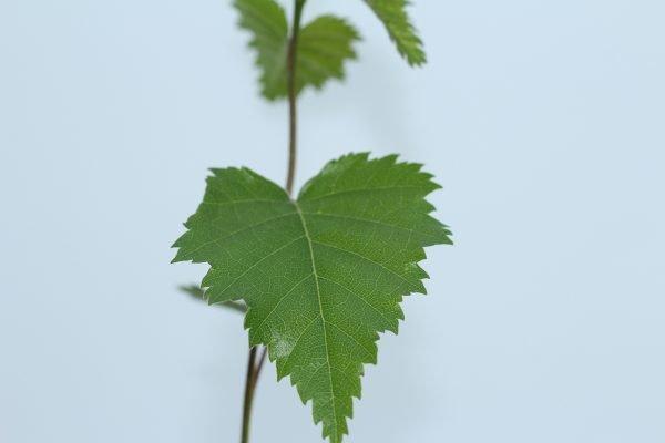 Silver Birch Tree Gift  -  Betula Pendula  -  Leaves  -  IMG1231  -  Tree Gifts
