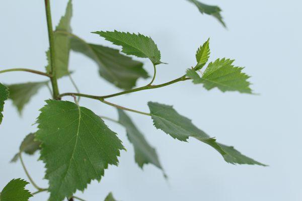Silver Birch Tree Gift  -  Betula Pendula  -  Leaves  -  IMG1232  -  Tree Gifts