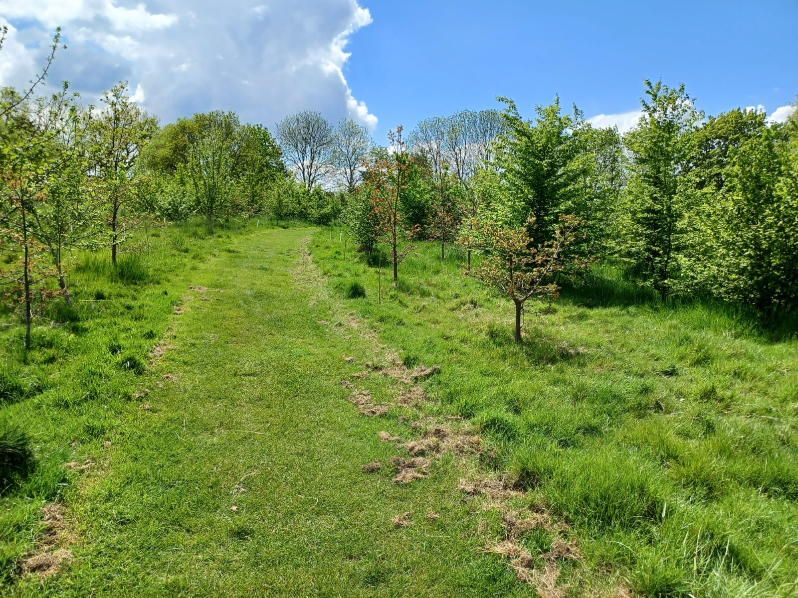 Silver Jubliee Wood  -  Essex  -  Pathway Through The New Trees