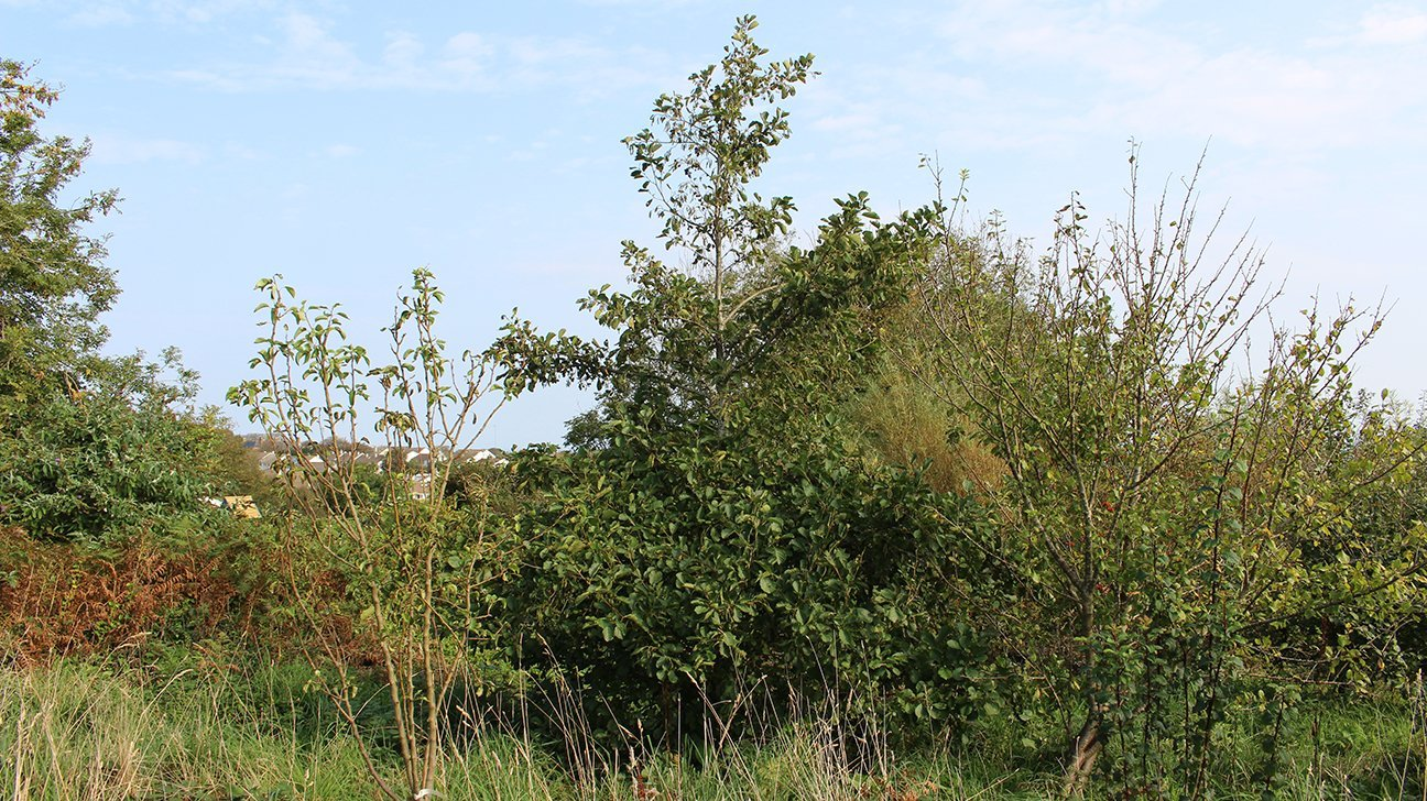 St Ives Community Orchard  -  Cornwall  -  Common Alder Trees Are Planted Throughout The Woodland