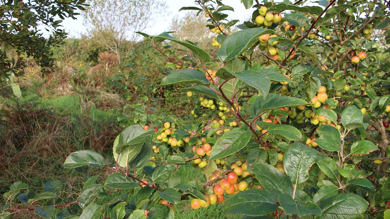 St Ives Community Orchard  -  Cornwall  -  Crab Apple Trees Are Some Of The Species Planted Here