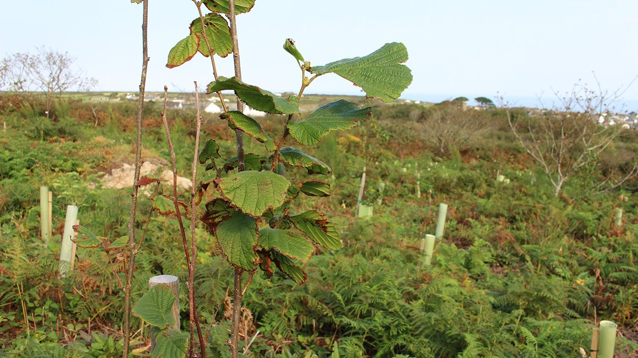 St Ives Community Orchard  -  Cornwall  -  Hazel Trees Are Among The Species Planted Here