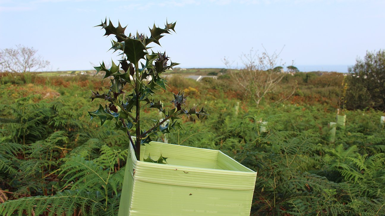 St Ives Community Orchard  -  Cornwall  -  Holly Tree In Shelter
