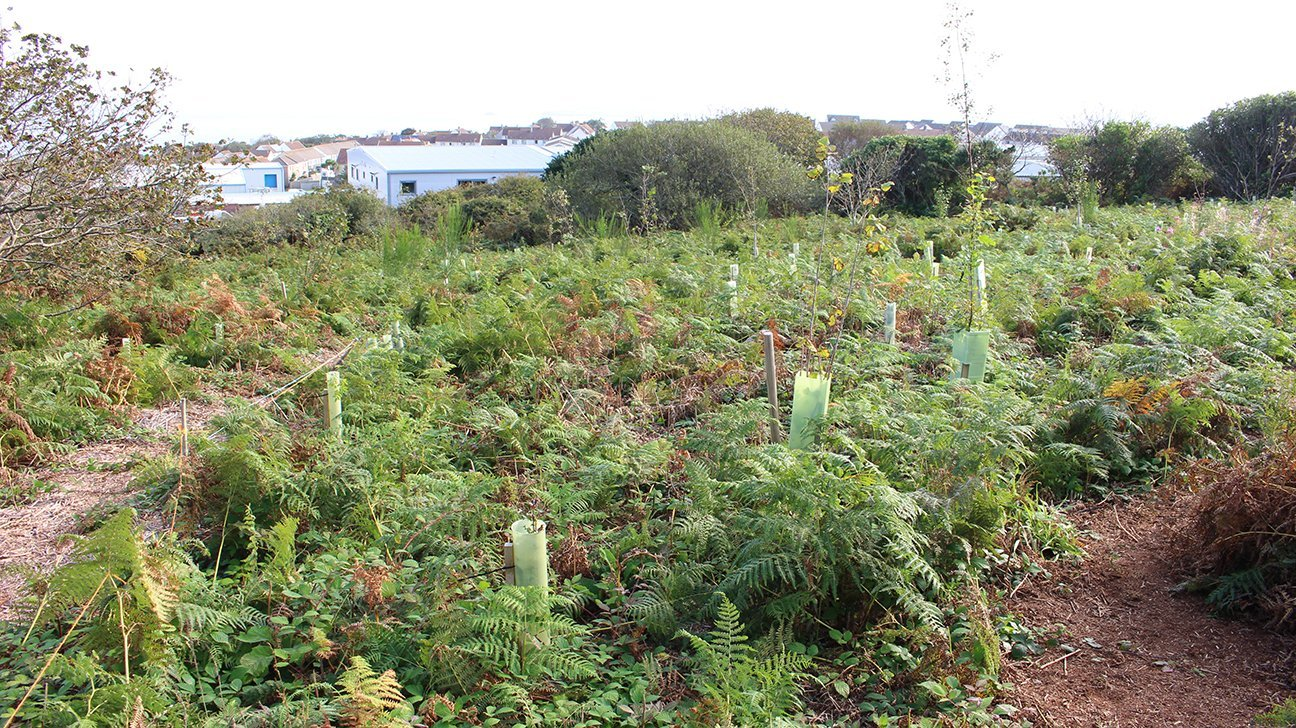 St Ives Community Orchard  -  Cornwall  -  New Trees Are Starting To Grow Out Of The Tops Of Their Shelters