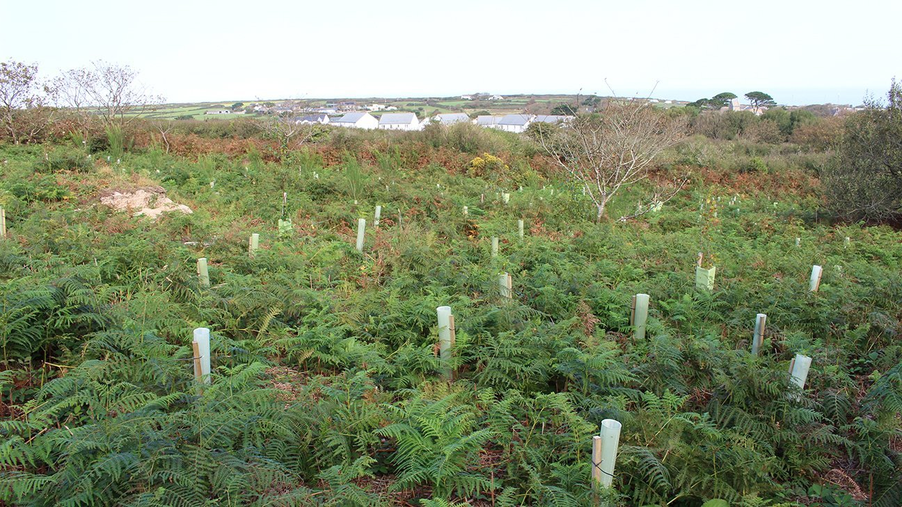 St Ives Community Orchard  -  Cornwall  -  Newly Planted Trees In Shelters Dotted Among The Bracken