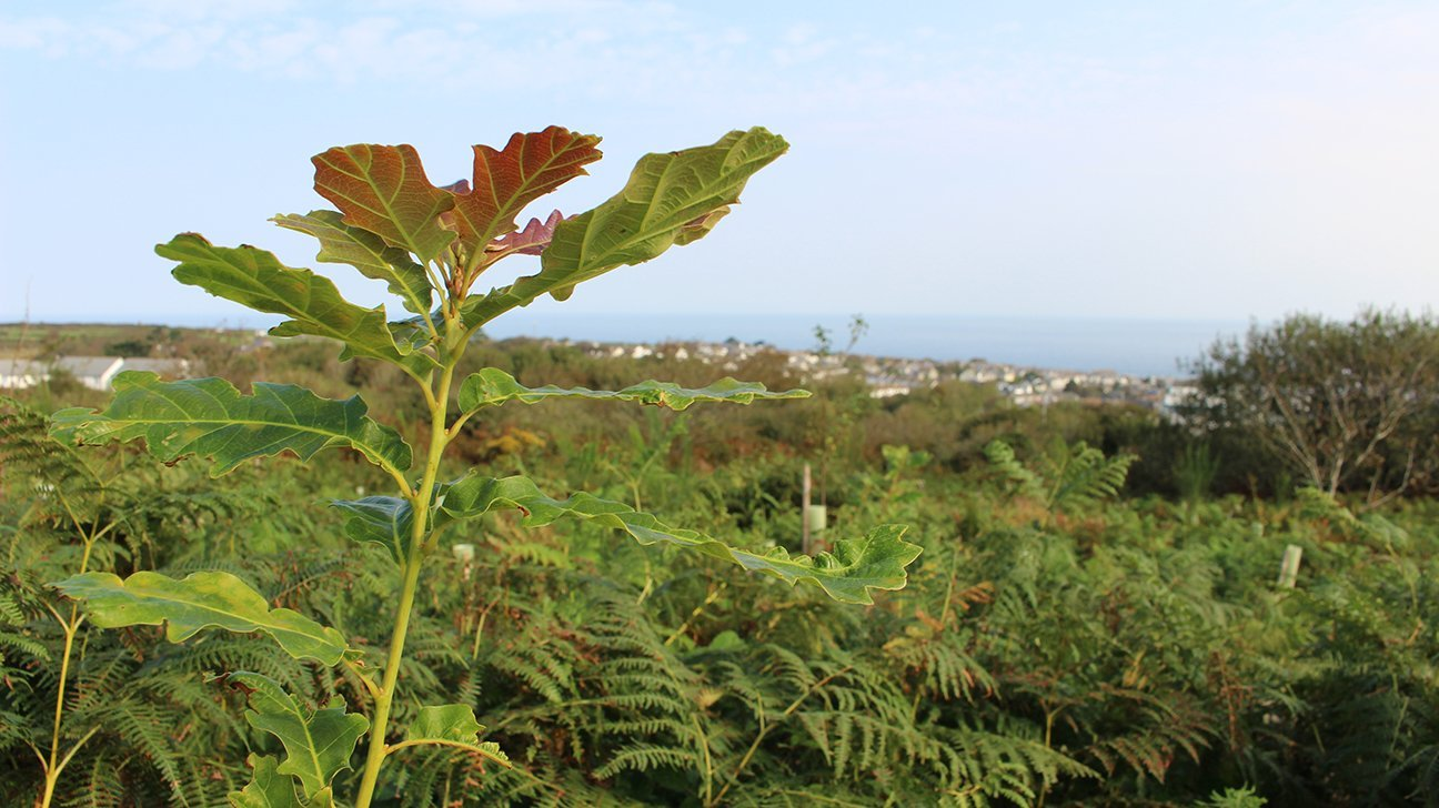 St Ives Community Orchard  -  Cornwall  -  Oak Tree Overlooking The Sea