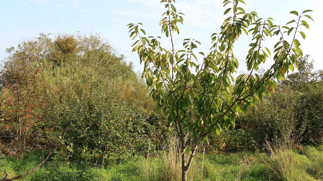 St Ives Community Orchard  -  Cornwall  -  Wild Cherry Trees Are Among The Trees Planted Here