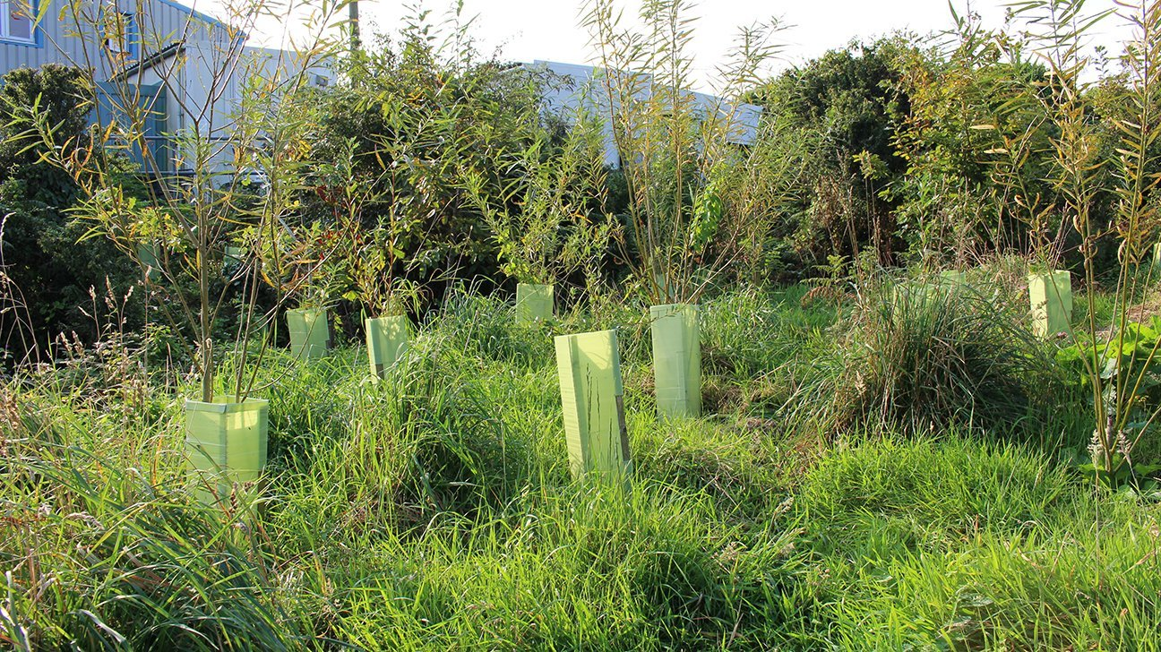 St Ives Community Orchard  -  Cornwall  -  Willow Trees In Shelters