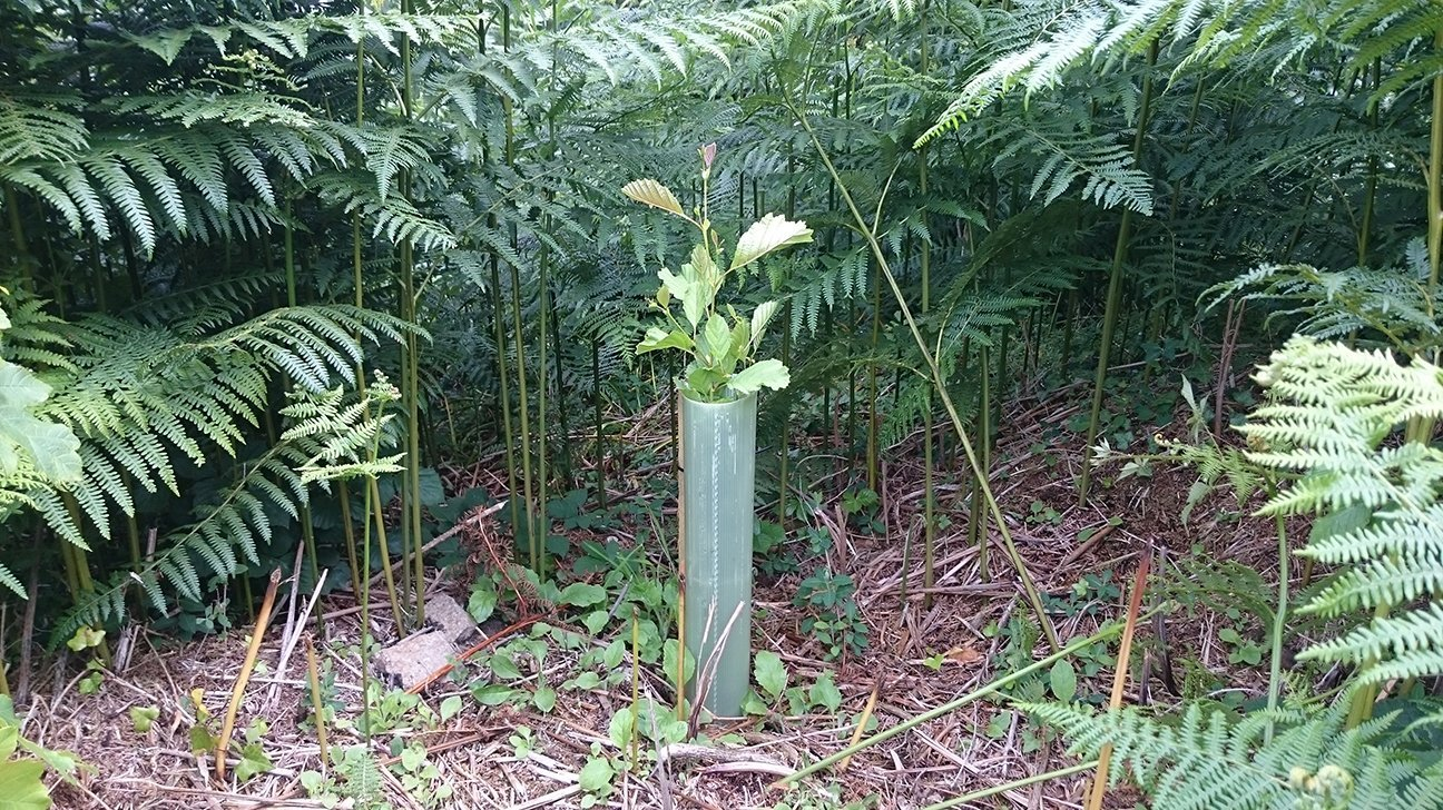 Steeple Woodland  -  Cornwall  -  Common Alder Tree Planted Amongst The Bracken