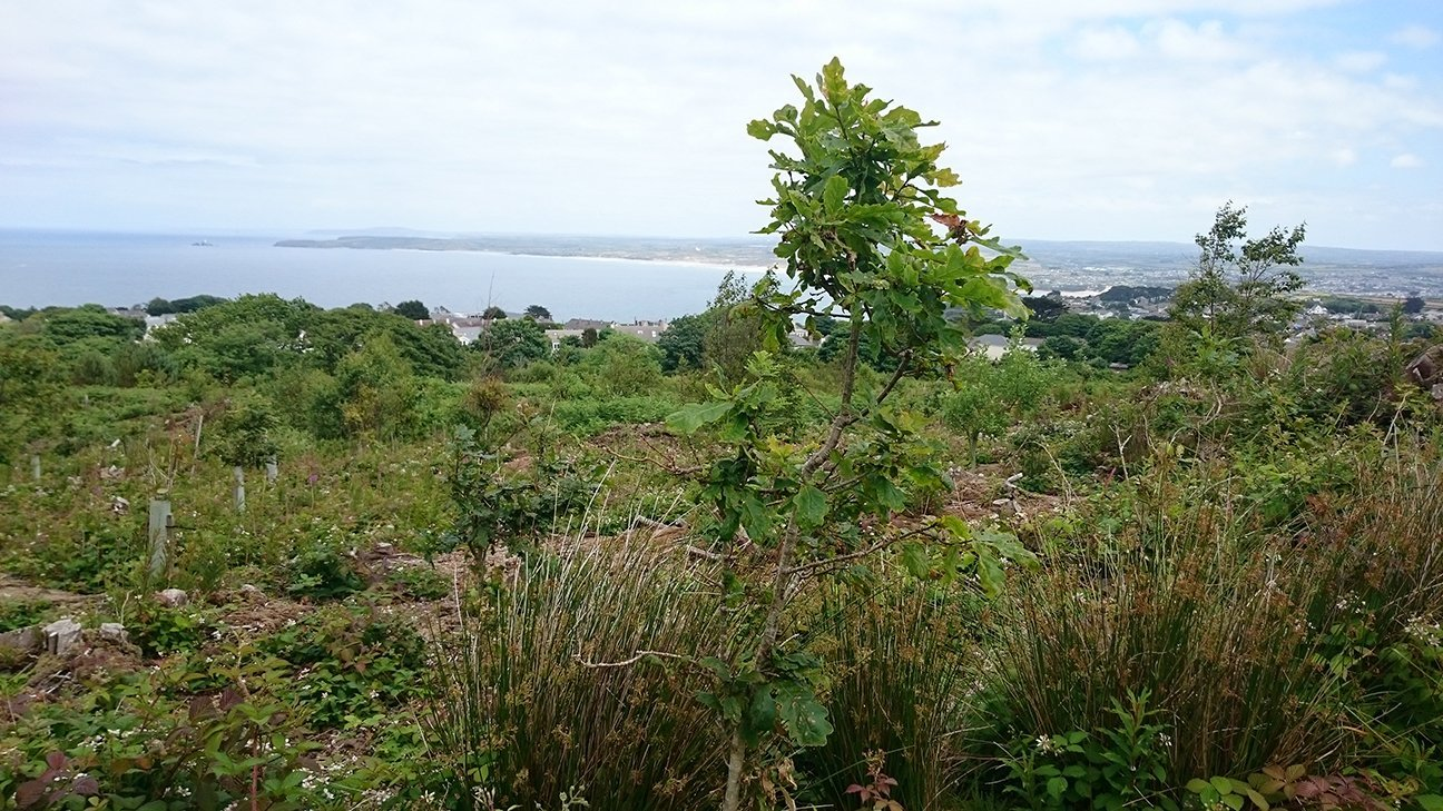 Steeple Woodland  -  Cornwall  -  Oak Tree And View Over Carbis Bay