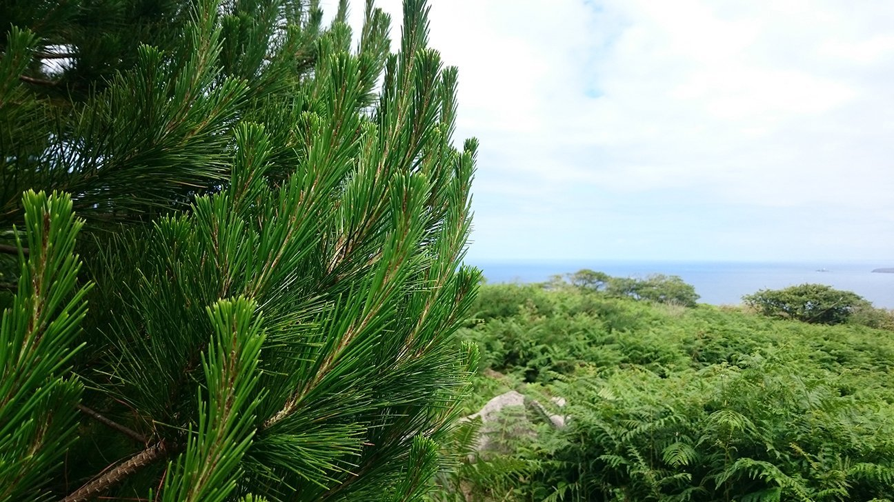 Steeple Woodland  -  Cornwall  -  Scots Pine And View Out To Sea