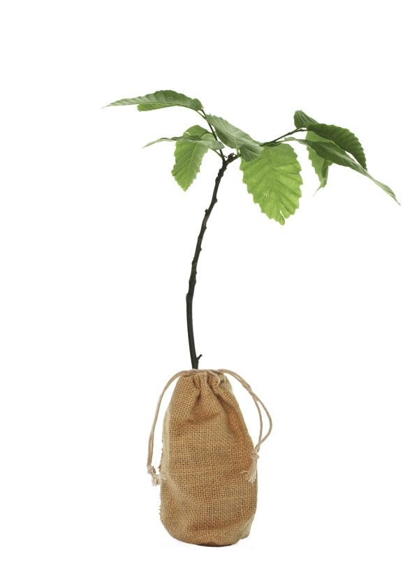 Sweet Chestnut Tree Gift - Castanea Sativa - Tree Gifts