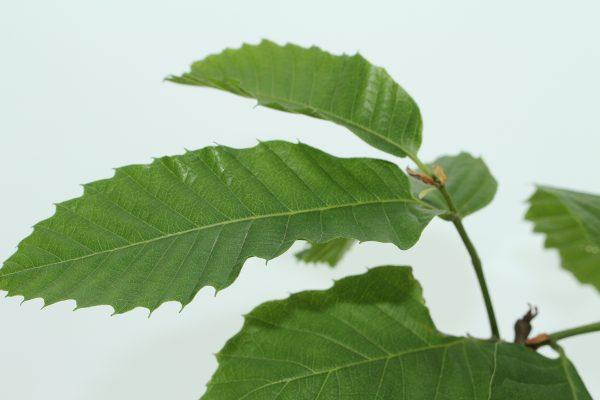 Sweet Chestnut Tree Gift  -  Castanea Sativa  -  Leaves  -  IMG1286  -  Tree Gifts
