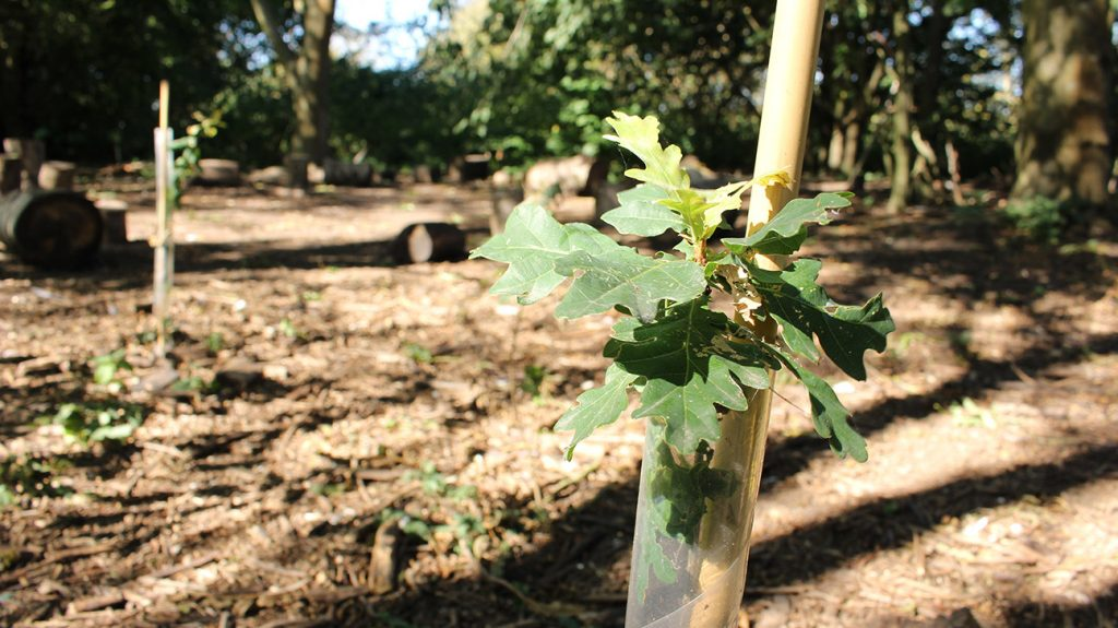 Thameside Nature Park  -  Essex  -  Oak Tree In Shelter In Woodland Grove