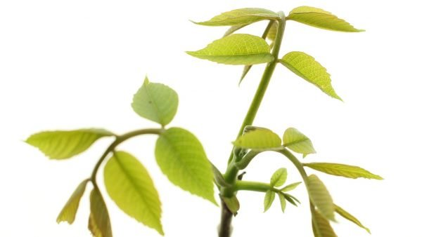 Walnut Tree Gift - Juglans Regia - Leaves - Tree Gifts