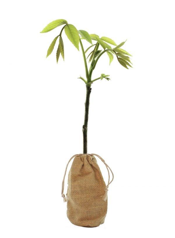 Walnut Tree Gift - Juglans Regia - Tree Gifts