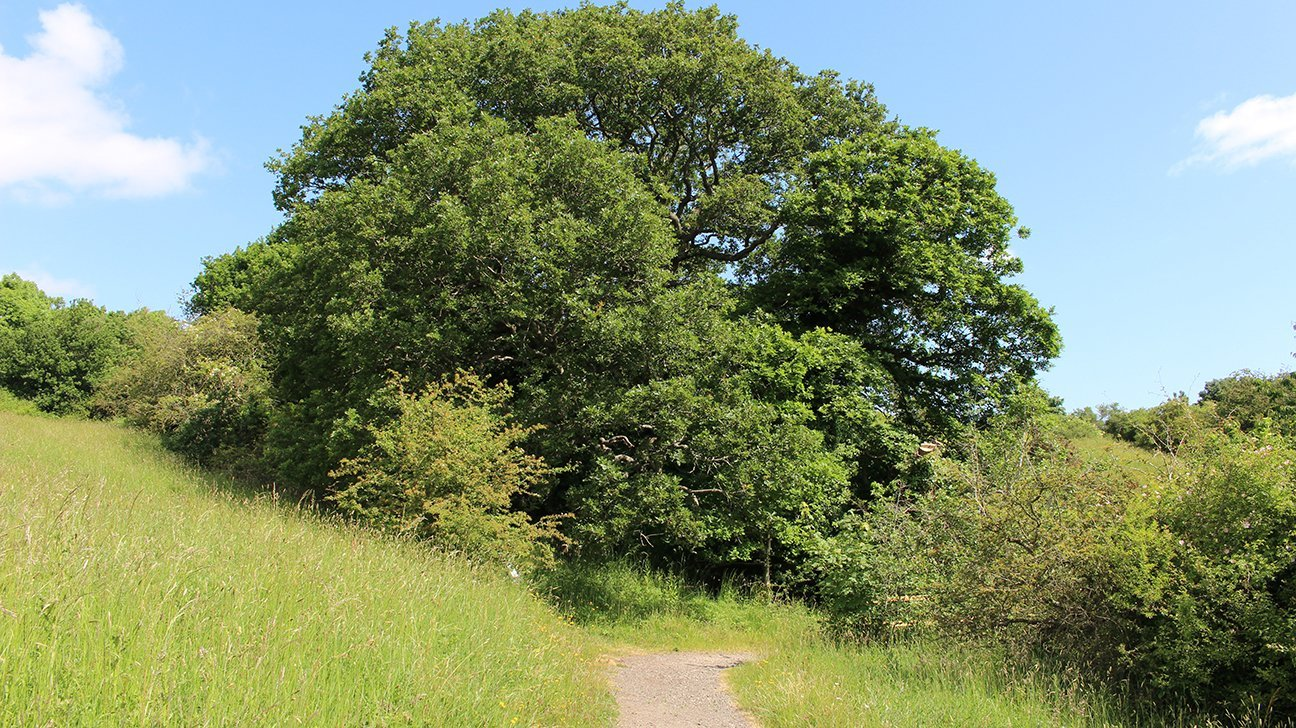 Washington Wetland Centre  -  Tyne And Wear  -  Mature Oak Tree