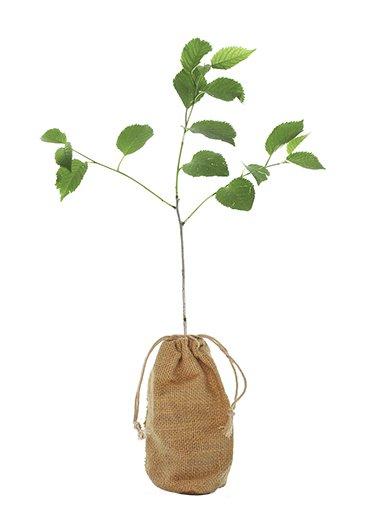Wild Cherry Tree Gift - Prunus Avium - Tree Gifts