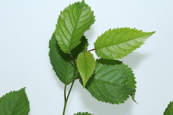 Wild Cherry Tree Gift  -  Prunus Avium  -  Leaves  -  IMG1245  -  Tree Gifts