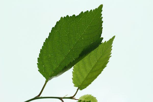 Wild Cherry Tree Gift  -  Prunus Avium  -  Leaves  -  IMG1247  -  Tree Gifts