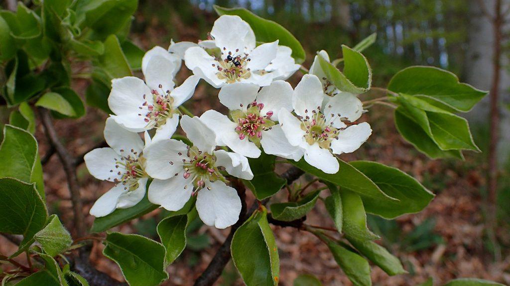 Wild Pear Tree  -  Pyrus Communis  -  Blossom