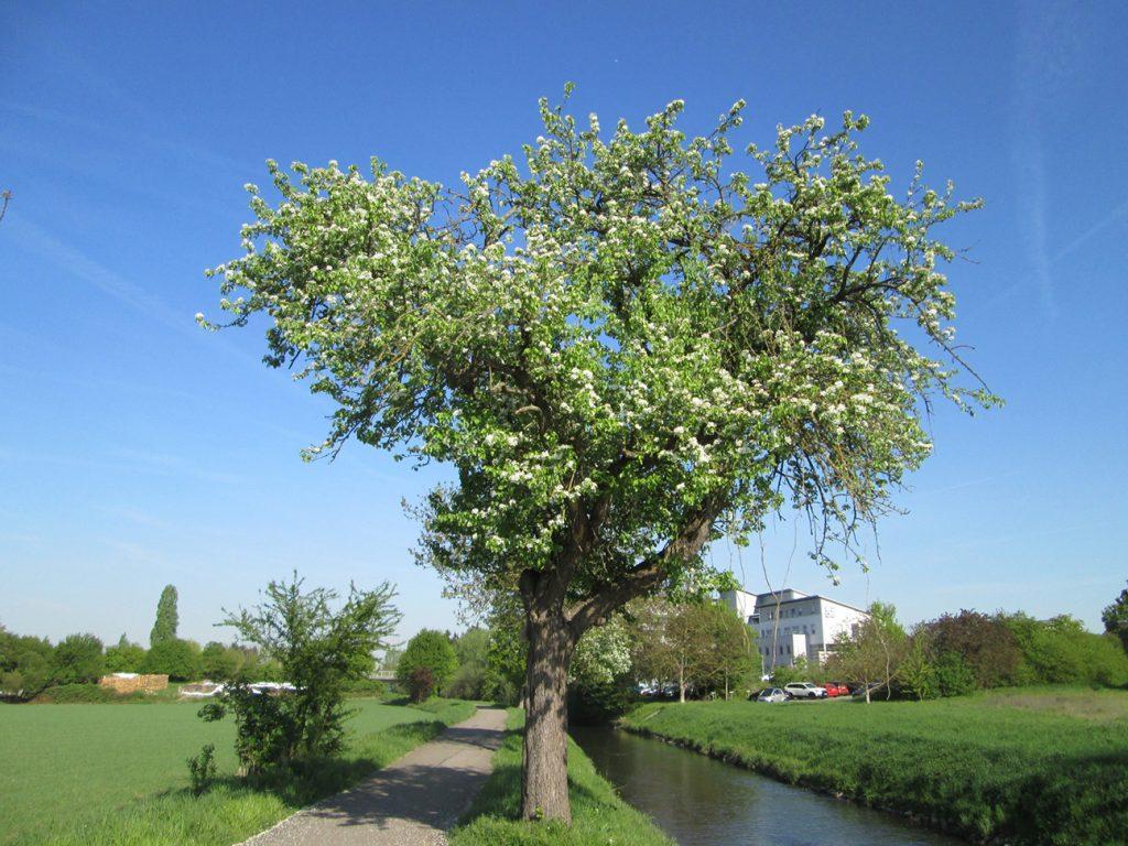 Wild Pear Tree  -  Pyrus Communis  -  Mature Tree