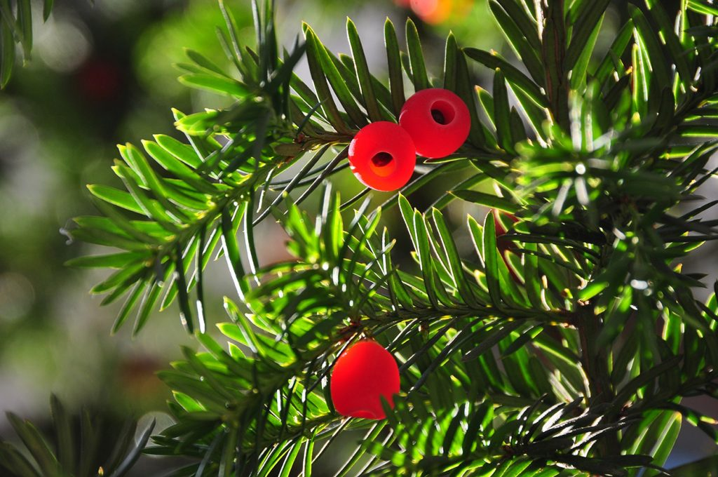Yew Tree  -  Taxus Baccata  -  Berries And Leaves