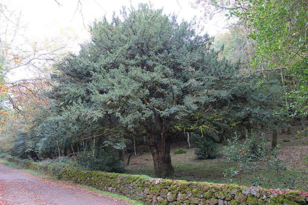 Yew Tree  -  Taxus Baccata  -  Mature Tree